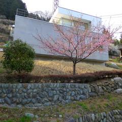 傾斜地/急勾配/崖地/外観/桜/サクラ 春になると、傾斜した庭に桜が咲きます。