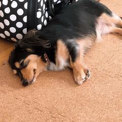 チワックス/フォロー大歓迎/愛犬 次女の愛犬ステラは、とってもヤンチャ(^…