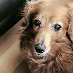 犬との暮らし/犬と暮らす/多頭飼い/愛犬/ペット/犬/... 我が家の愛犬クー。14歳、シニア犬です。…(1枚目)