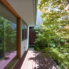 庭/緑/モミジ 主庭の主木はモミジ。2階の窓まで伸ばす考…