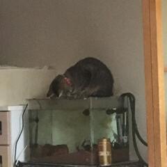 ペット 水槽の上でごめん寝をしてる我が家の猫 涼…(1枚目)