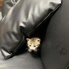 ネコ/子猫 新しい家族が家に来た! 名前はまだはっき…(2枚目)