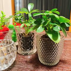 パキラ/観葉植物/カポック/レモン100均/キャンドルホルダー/GLASS/... カポックひとつ増えました🌿いらっしゃい~…(2枚目)