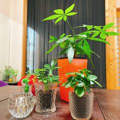 パキラ/観葉植物/カポック/レモン100均/キャンドルホルダー/GLASS/... カポックひとつ増えました🌿いらっしゃい~…(1枚目)
