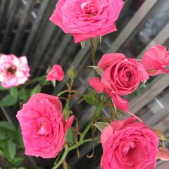 ガーデニング/バラ/ボタニカル 職場のおばちゃんが丹精こめて 咲かせたバ…