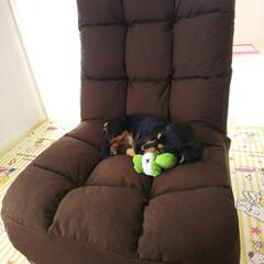 座椅子/うちの子ベストショット/ペット/ニトリ ねるチャン🐶のためにニトリの座椅子を買い…