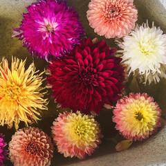 花のある暮らし/暮らし/ガーデニング/花 母とダリア園。  すごいたくさんの種類に…