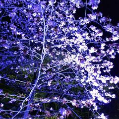 花がある暮らし/花びら/春限定/春らしい/北海道/公園/... 夜桜を見に行ってきました❗️ 幻想的でと…