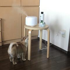 柴犬/アロマディフューザー/インテリア/無印良品