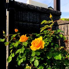 庭づくり/暮らし 薔薇が綺麗に咲きました😄💕