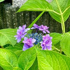 紫陽花 お庭の紫陽花が、見頃になったので花瓶に飾…(3枚目)