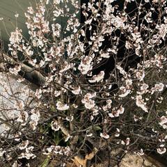 さくらんぼ🍒/住まい 河津桜の後に咲くサクランボの花が🌸満開で…
