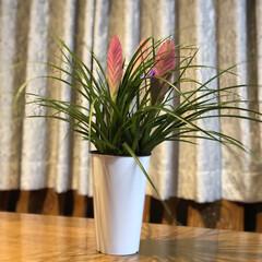 観葉植物 ハナアナナスです😊ピンク色がとても綺麗で…