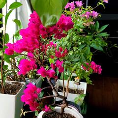 住まい ブーゲンビリアのお花が🌸満開になりました…