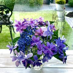紫陽花 お庭の紫陽花が、見頃になったので花瓶に飾…(1枚目)
