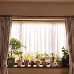 観葉植物/100均/住まい 出窓にも緑を😊🌿 100均で購入した観葉…