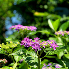 住まい 紫陽花が咲いていました。綺麗😊💕