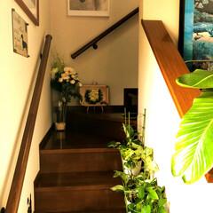住まい 玄関の観葉植物🌴も大きくなり、ポトスはど…(2枚目)