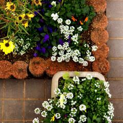 住まい 花壇とプランターに寄せ植えをしました。😊🎶(1枚目)