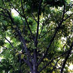 住まい 欅も見事に葉を付けました。新緑はいいです…