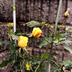 住まい 鉢植えの薔薇が昨年から年越しで咲こうとこ…