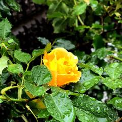 庭/グリーン/住まい 今日は朝からずーっと雨☔️庭の植物達は活…