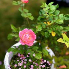 住まい お庭の薔薇🌹が3種類咲きました😊💕