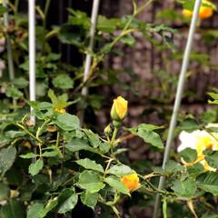 庭/住まい 薔薇🌹が蕾を沢山付けてくれました😊💕