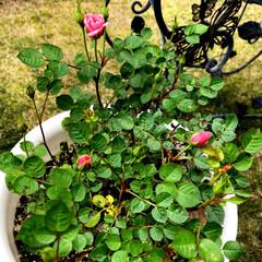 庭づくり お庭の薔薇🌹が3鉢蕾をもっていますので、…