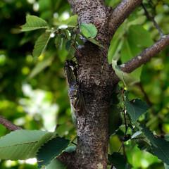 住まい 庭の欅で蝉がうるさく、朝から鳴いています…(2枚目)