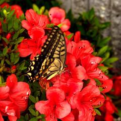住まい 今日もさつきにアゲハ蝶々がやって来ていま…