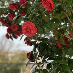季節の花木 今日、見つけた綺麗な椿💕思わず写真を撮っ…(1枚目)