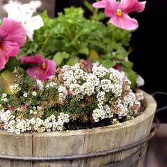 住まい 樽の中の花達🌼