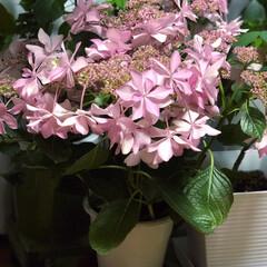 母の日 母の日に贈ったはずの、紫陽花が何故か我が…