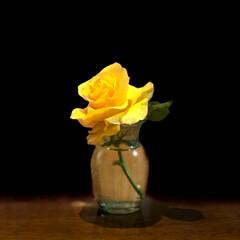 庭づくり/住まい お庭の薔薇が一輪だけですが、綺麗に咲いて…