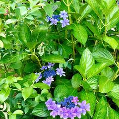 紫陽花 お庭の紫陽花が、見頃になったので花瓶に飾…(2枚目)