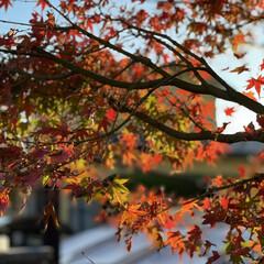 ガーデニング 庭の紅葉🍁も赤く色付きました😊💕