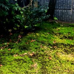 住まい お庭の苔が、今日の雨で生き生きしてきまし…