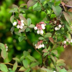 住まい ブルーベリーの花が今年もいっぱい咲いてい…