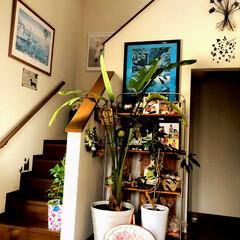 住まい 玄関の観葉植物🌴も大きくなり、ポトスはど…(1枚目)