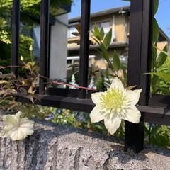 ガーデニング お庭の白いテッセンが咲きました😊💕🌸(2枚目)
