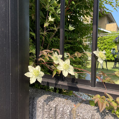 ガーデニング お庭の白いテッセンが咲きました😊💕🌸(1枚目)