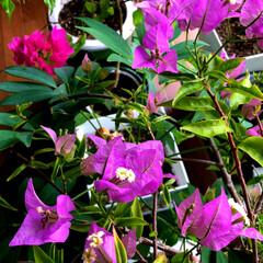 住まい ブーゲンビリアのお花が🌸満開になりました…(2枚目)