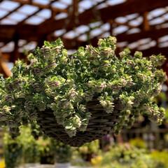 グリーン 久し振りに植物園に立寄ってお花の苗を大人…