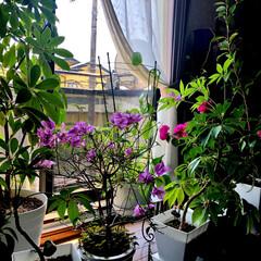 観葉植物/暮らし 2階のシアタールームの窓側にブーゲンビリ…