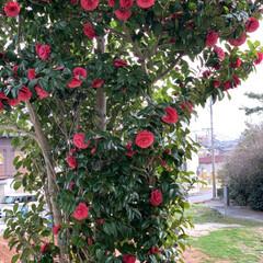 季節の花木 今日、見つけた綺麗な椿💕思わず写真を撮っ…(2枚目)