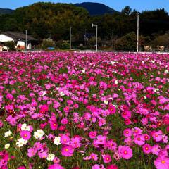 秋/おでかけ 秋桜8分咲き😊🎶天気も良く、空気も美味し…