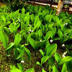 住まい 庭に鈴蘭が咲き誇っています🌿 昨年より間…(2枚目)