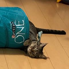 癒し/キジトラ/ねこ/保護猫/ネコ/きじとら/... 遊びながら寝た軍曹さん🐈  これがカタツ…