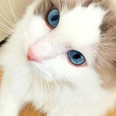 愛猫/ラグドール/ペット/猫 我が家の愛猫ฅ(^ •ω•*^ฅ♡ 私が…